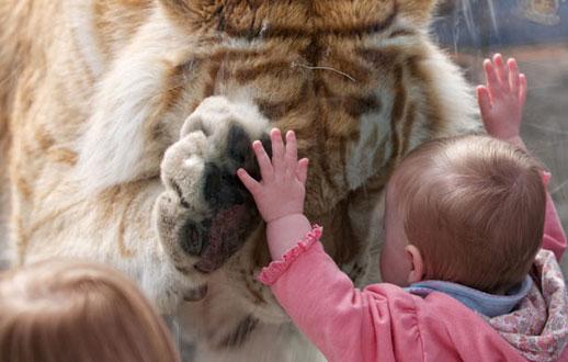 ابراز احساسات یک ببر 370 کیلویی به یک دختربچه در باغ وحش بریتانیا.